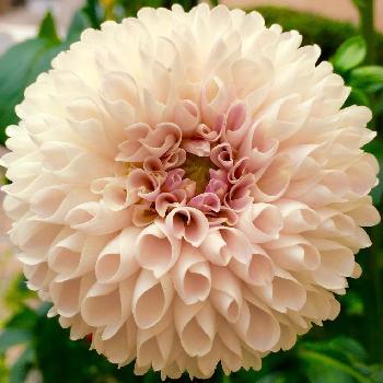 一輪でも存在感抜群のダリア。花びらの造形美はまるでアートのよう!