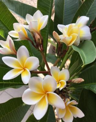 甘く優しい香りと可憐な姿が魅力の、南国の花・プルメリア
