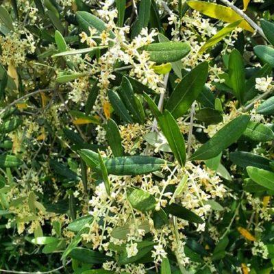 食べて美味しくヘルシーなオリーブの花を咲かせてみませんか?