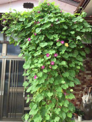 綺麗な色の花を咲かせる朝顔の育て方をご紹介