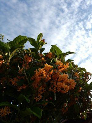 匂いだけじゃない、金木犀の花