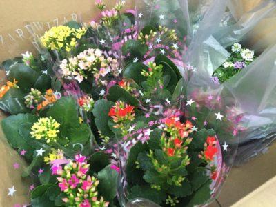 鮮やかで可愛い花、カランコエについてご紹介!