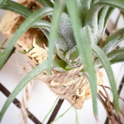 人気のチランジアを鉢植えで育てよう!