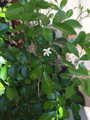 花や実も楽しむことが出来る観葉植物、ジャスミン