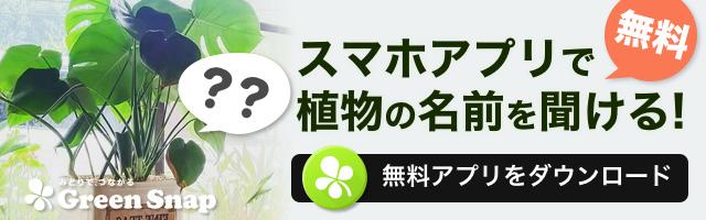 日本では滅多に見られない珍しい観葉植物