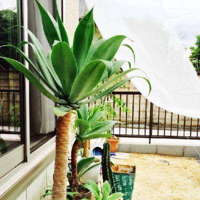 暑い季節にご用心!夏は多肉植物をこう管理するのがベストだよ!!