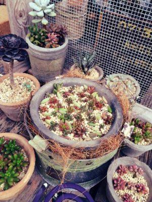 植木鉢と鉢カバー、多肉植物にはどっちが良い?