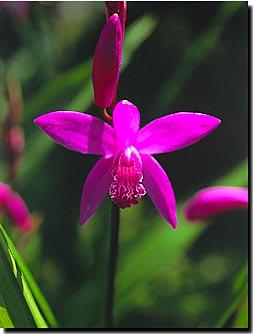 シラン (植物)の画像 p1_35