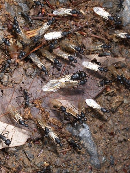 クロオオアリの画像 p1_28