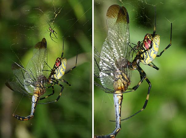 ジョロウグモの画像 p1_12