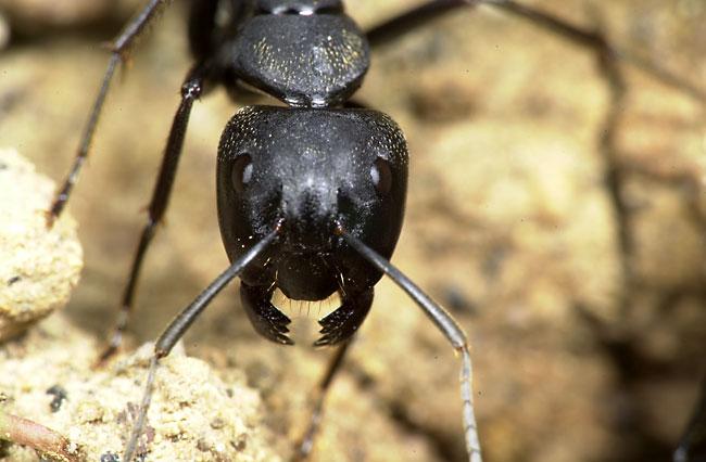クロオオアリの画像 p1_32
