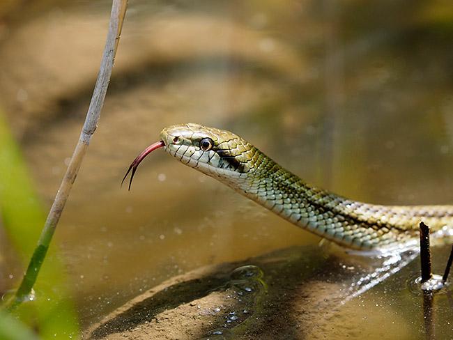 シマヘビの画像 p1_38