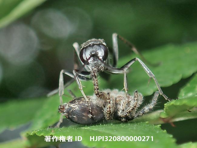 ハエトリグモの画像 p1_32
