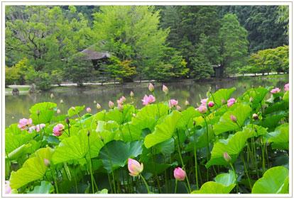 蓮は昼前には花を閉じてしまいますが、雨曇りのこの日はまだ開花していました