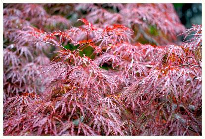 紅葉を包みこぼれるレースのヴェールのような水滴