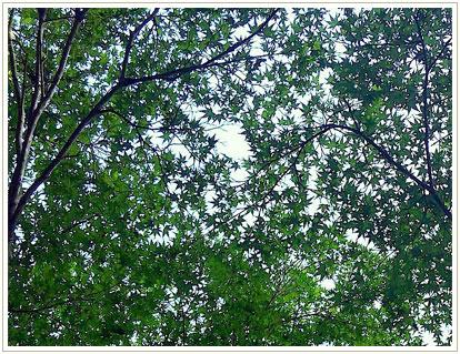 少し乾きながらも緑を湛えている葉っぱたち。空を濃淡で切り抜きます