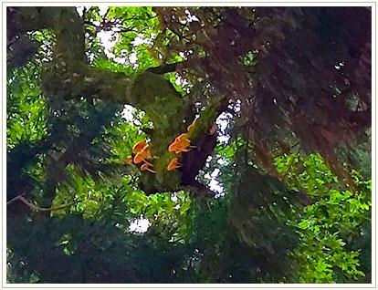 雑木林に寄生するキノコ群。まさに木の子となり生きている様が逆に怖いような