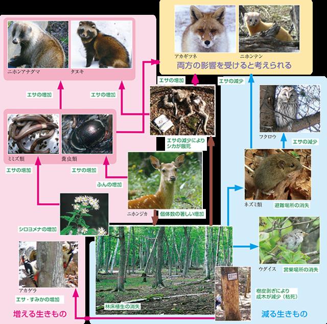 No526_シカの増加で変わる森の生態系-2