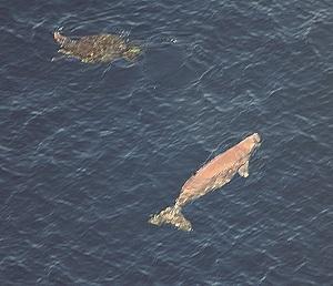300 P10_ジュゴンとウミガメ(東恩納琢磨)