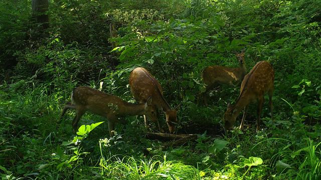 300 赤谷の森でも増加傾向にあるニホンジカ