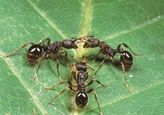 身近に観察できる日本のアリの驚くべき生態とは?