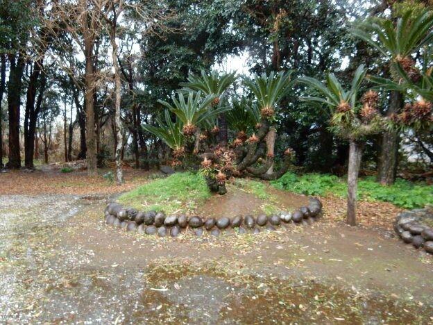 [ソテツ]古今東西 ご神木巡礼 番外編 八丈島の樹齢600年を超