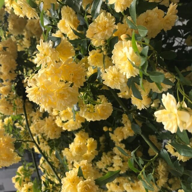[モッコウバラ]春を彩るモッコウバラ|バラ科バラ属