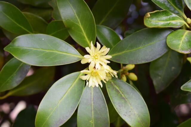 香り成分が広葉樹最多〜シキミ マツブサ科シキミ属