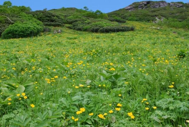 [シナノキンバイ]夏の高山にお花畑を作ります