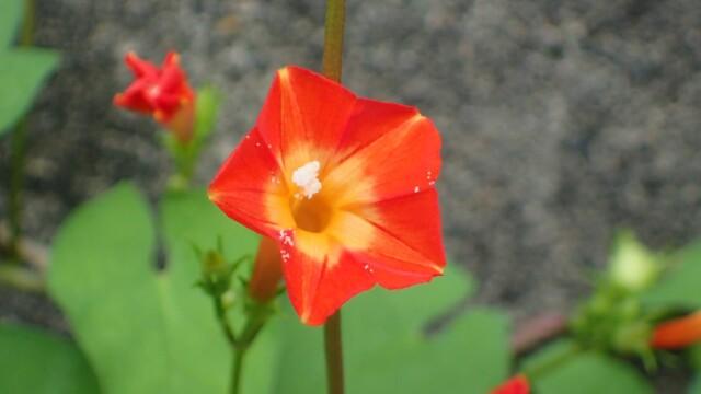 花を見てその名を思い出した、マルバルコウ
