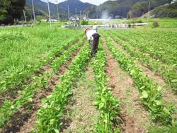 味噌づくりのための大豆栽培