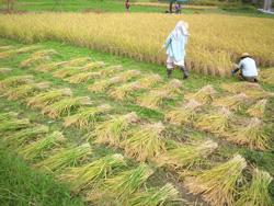 たわわに実った稲を刈り取り