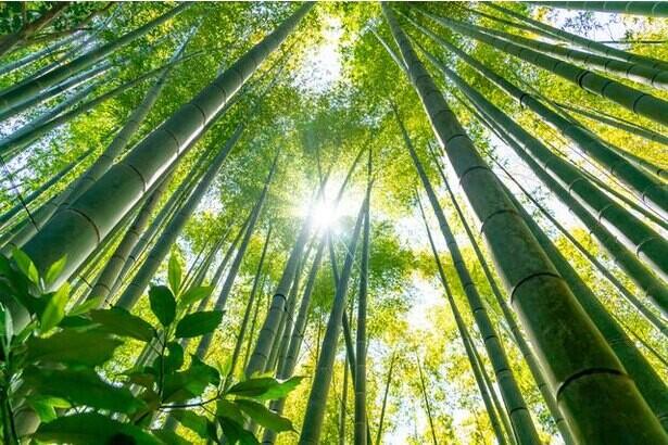 数十年に1度咲く竹の花。いっせいに開花し枯れる謎