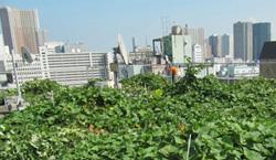 ビル屋上のサツマイモ畑
