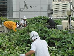屋上菜園でメンテナンス作業をする緑化隊