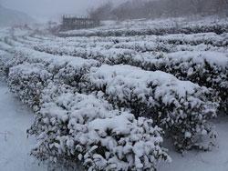 雪に覆われた茶畑
