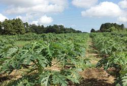 8千本の青パパイヤが栽培されている