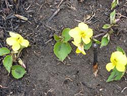 野焼きの後、一番先に咲く「黄スミレ」