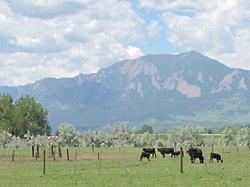 ボールダーの牧草飼育の牛