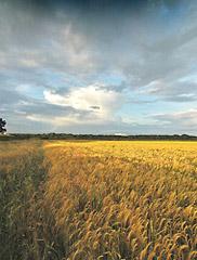 一面のコーン畑