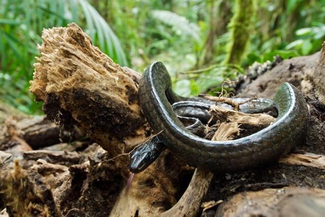 カエルを襲うツボカビ症、ヘビにも被害及んでいた