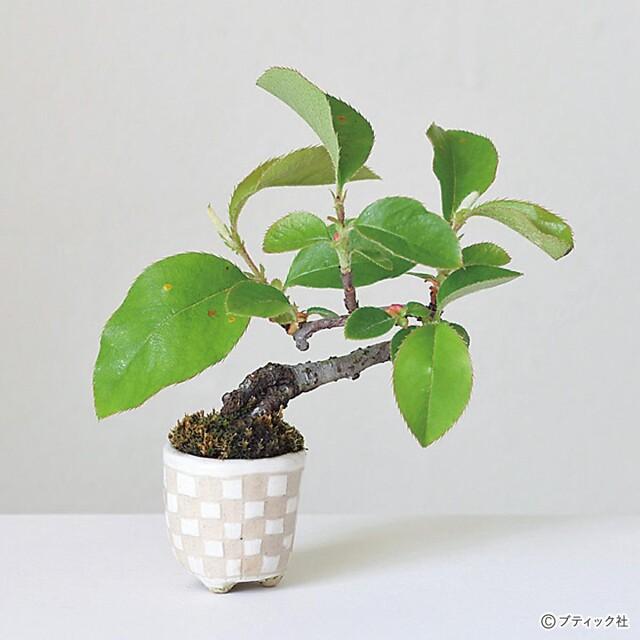 超ミニ盆栽の基礎「基本情報、魅力、育てる過程」