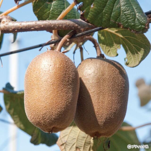 「キウイフルーツ」の育て方・栽培のコツ