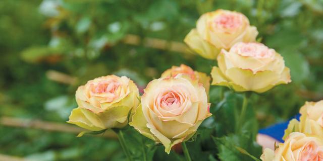 バラの生産地を訪ねて 広島・とくなが園芸