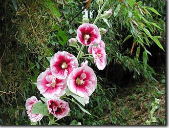 タチアオイ(立葵) - 植物図鑑 - 暮らし - 緑のgoo