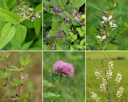 マメ科植物の花6種 - 海野和男のデジタル昆虫記 - 緑のgoo