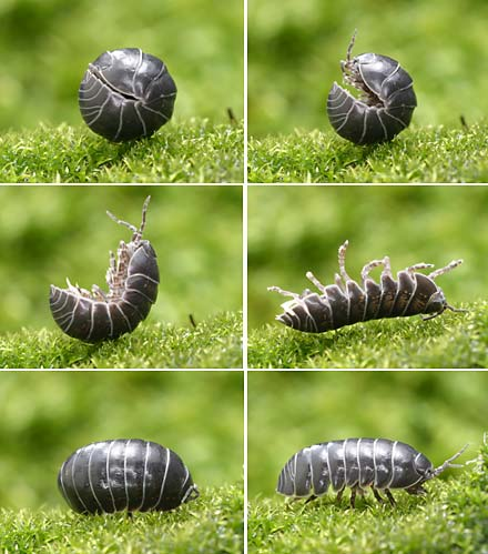 ダンゴムシ は 昆虫