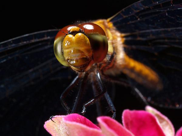 虫の顔2(50mm+EXチューブ) - 海野和男のデジタル昆虫記 - 緑のgoo