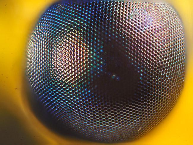 オオフトヒゲクサカゲロウの複眼 - 海野和男のデジタル昆虫記 - 緑のgoo