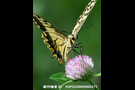 キアゲハ Papilio machaon